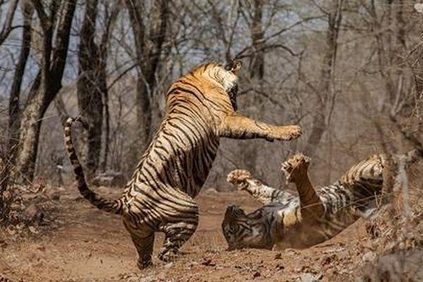 Mẹ con hổ lớn 'cốt nhục tương tàn': Hé lộ nguyên nhân