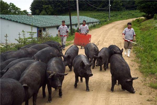 Tỷ phú thịt lợn Trung Quốc nói 'còn lâu lợn hơi mới giảm'