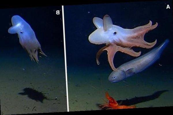 Bạch tuộc 'tai voi' Dumbo siêu dễ thương xuất hiện dưới đáy biển sâu nhất từ trước đến nay