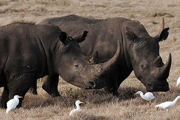 Công nghệ hiện đại giúp hồi sinh đười ươi và tê giác đen?