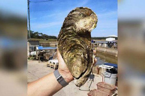 'Hy sinh' bữa tiệc hải sản để thả một con hàu khổng lồ về với biển