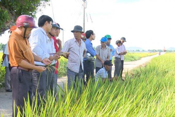 Bình Định: Sản xuất lúa '5 giảm, 3 tăng'