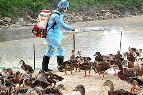 Đắk Lắk công bố dịch cúm gia cầm H5N6