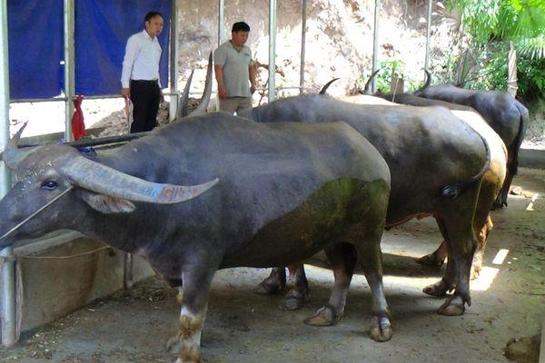 Tuyên Quang: Vỗ béo trâu, nghề làm giàu trên vùng cao Lâm Bình