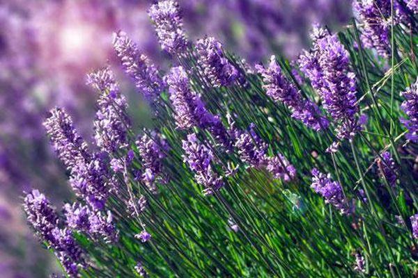 Huyền bí loài hoa được nữ hoàng Cleopatra dùng làm 'bùa yêu'