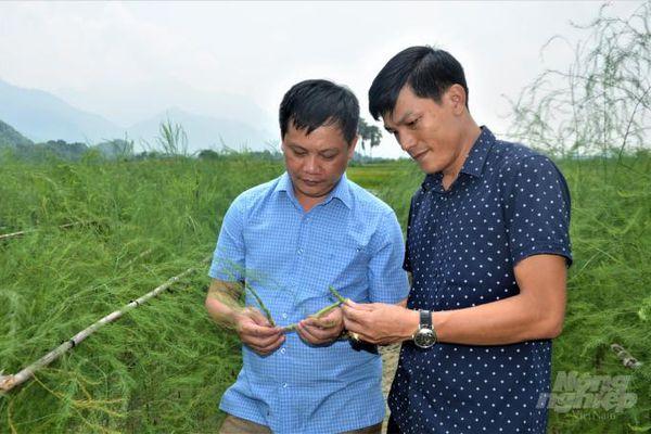 Măng tây trên đất lúa Tuyên Quang