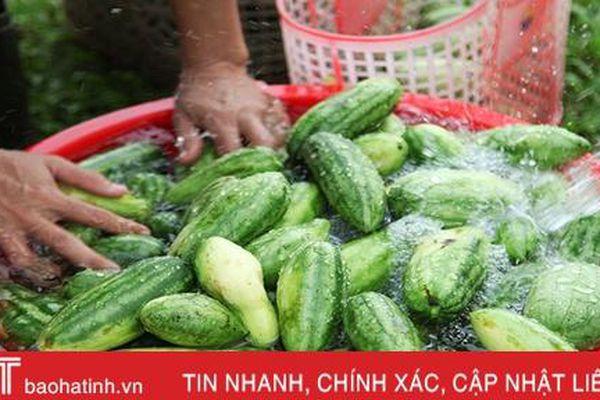Mùa dưa non 'kém vui' của nông dân Hà Tĩnh