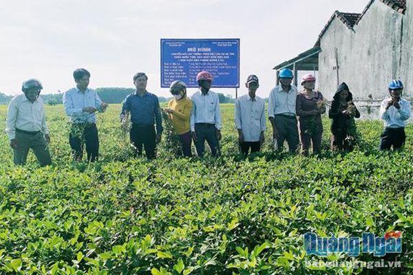 Giống đậu phụng dễ trồng, hiệu quả cao