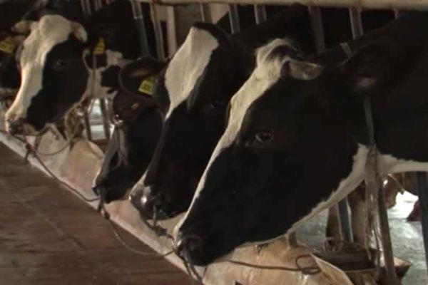 Trở thành tỷ phú từ khởi nghiệp với 2 con bò sữa ở Hà Nội
