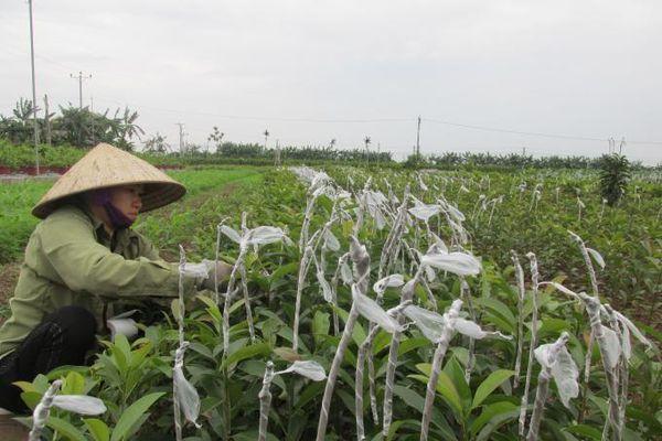 Một thôn sản xuất 10 triệu cây ăn quả giống/năm