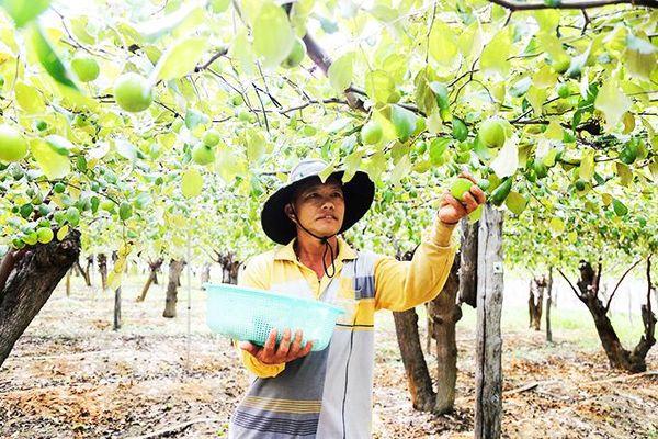 Xã Cam Thành Nam: Hy vọng vụ táo cuối năm