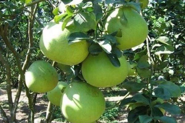 Tìm cơ hội cho trái bưởi Việt Nam mở rộng ra thị trường lớn