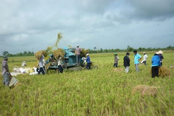 An Giang: Tạo vùng nguyên liệu sản xuất lúa Nhật chất lượng cao