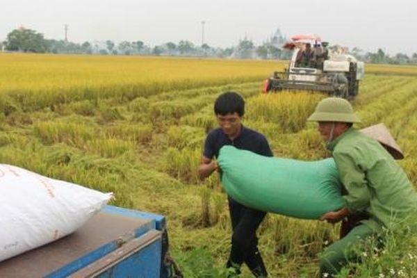 Sản xuất lúa miền Bắc thắng lợi trong khó khăn