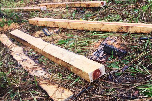 Lâm tặc xẻ gỗ, chiếm đất, Ban quản lý rừng không biết
