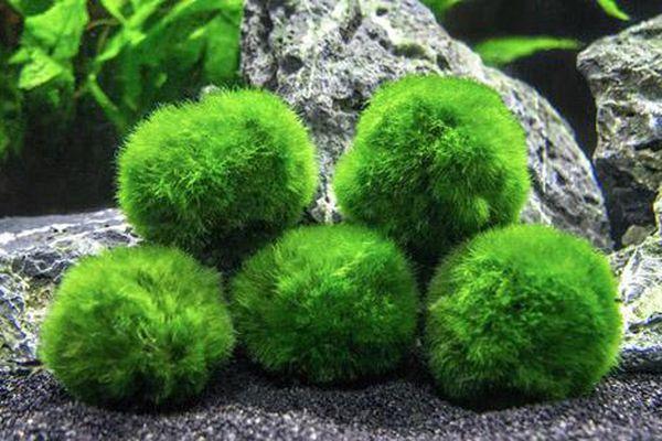 Loại tảo kỳ lạ được người Nhật tôn sùng như báu vật