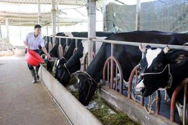 t phá chăn nuôi gia súc lớn