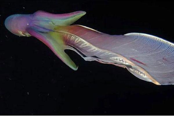 CLIP: Đắm chìm trước vẻ đẹp lộng lẫy của bạch tuộc chăn