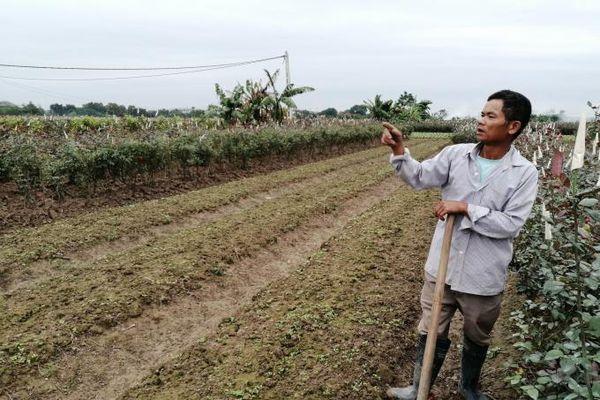 Khôi phục sản xuất hoa cho tết
