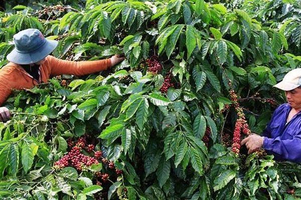 Giá cà phê hôm nay 23/11: 2 kịch bản cho giá cà phê tuần này, nhiều thách thức vụ mới với người trồng