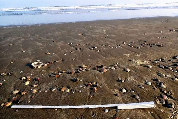 Ngao dạt vào bờ biển hàng loạt, dân Nhật lo sắp có thảm họa