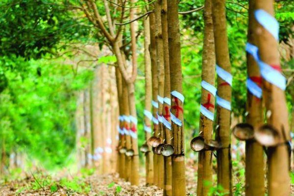 Cao su Phước Hòa (PHR) chi gần 340 tỷ đồng tạm ứng cổ tức đợt 1/2020