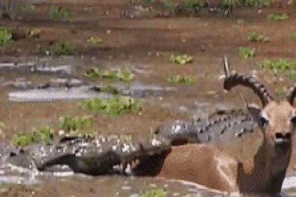 Không chỉ 1 mà tới 3 con cá sấu kéo linh dương xuống bùn, nhưng điều khó tin đã xảy ra