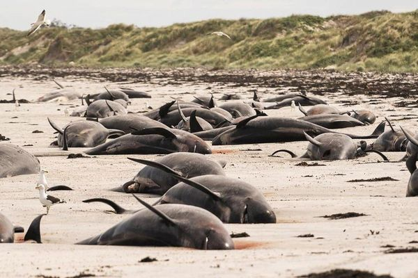 Kỳ lạ: Gần 100 con cá voi cùng mắc cạn ở New Zealand