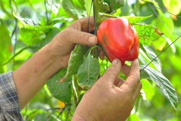 Nông dân thu vài triệu mỗi ngày nhờ trồng thứ quả xanh đỏ này