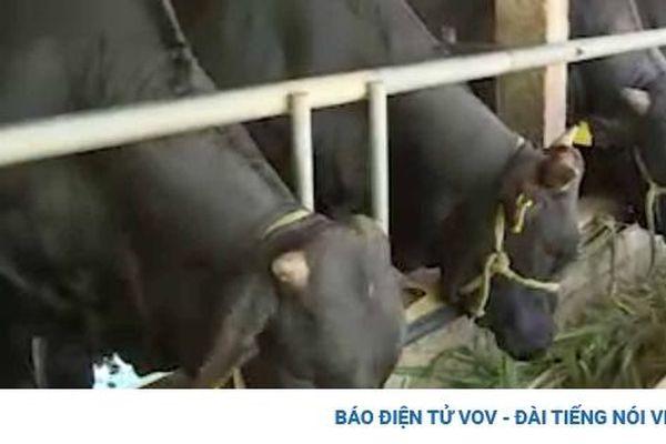 Thu nghìn tỷ từ chăn nuôi bò thịt chất lượng cao