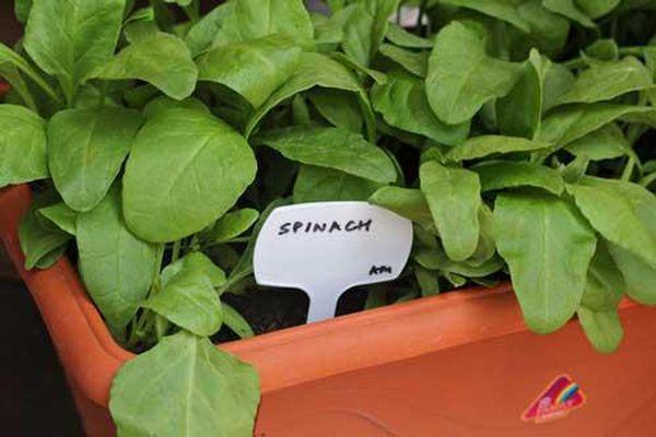 Kỹ thuật trồng rau chân vịt trong chậu xanh tươi mỡ màng