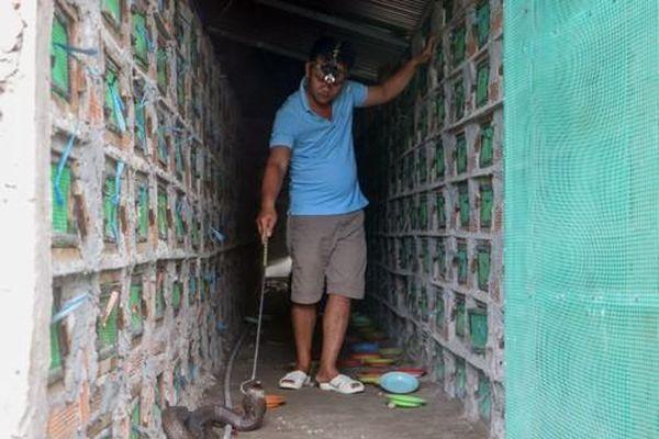 Thăm trại rắn hổ mang tiền tỉ của nông dân miền Tây