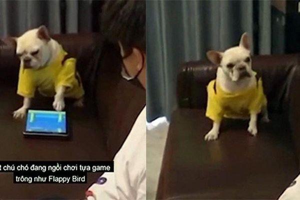 Chú chó nổi giận vì bị phá bĩnh khi chơi game