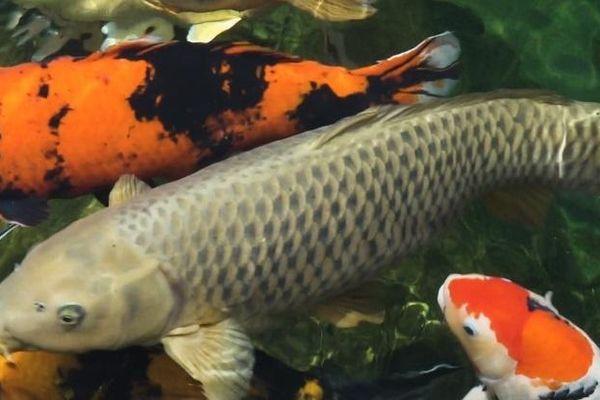 Cá Koi dài gần 1,2 m ở TP.HCM