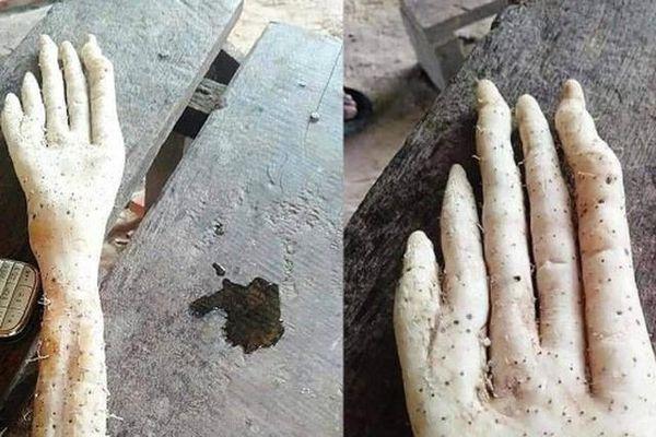 Kinh hãi củ khoai hình... bàn tay