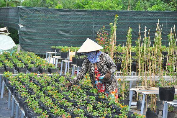 Thủ phủ hoa lớn nhất miền Tây chuẩn bị gần 3 triệu giỏ hoa phục vụ Tết