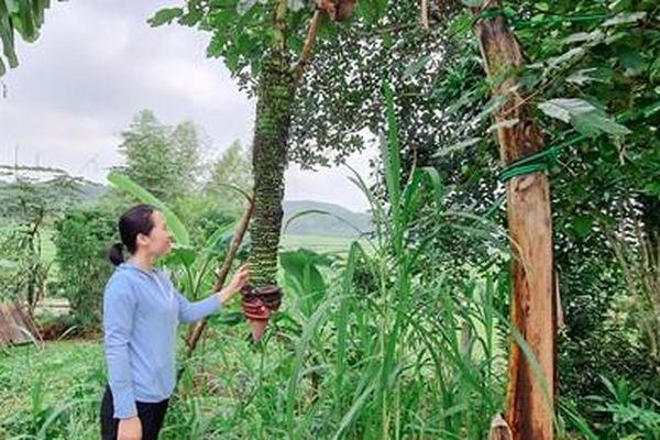 Kỳ lạ buồng chuối hơn 100 nải ở Hương Sơn