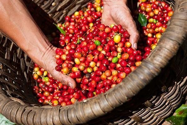 Giá tiêu và cà phê hôm nay duy trì đà tăng