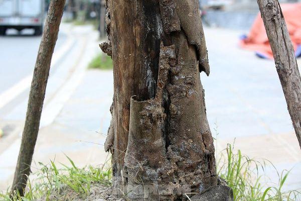 Hàng loạt cây trồng chết khô trên trục đường Cầu Giấy - Dương Đình Nghệ