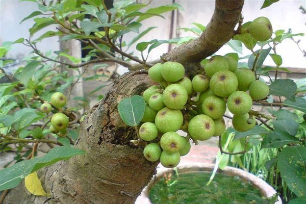 Thích mắt loạt bonsai sung chi chít quả hút khách cận Tết