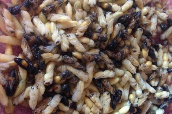 Lên rừng bê cả tổ ong vạn con về xào ăn, ngâm rượu bồi bổ