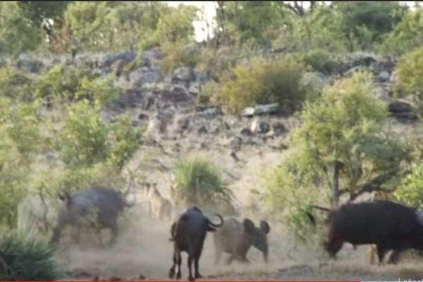 CLIP: Đàn trâu rừng kéo nhau tấn công sư tử để giải cứu voi con