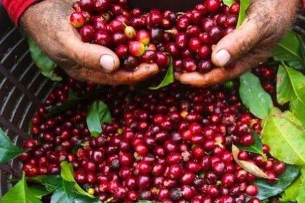 Giá cà phê hôm nay 11/12: Điều chỉnh trái chiều, robusta giảm, arabica tăng. Cà phê nguyên liệu trong nước tăng mạnh