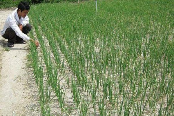 Kỹ thuật trồng và chăm sóc tỏi cho năng suất vượt trội