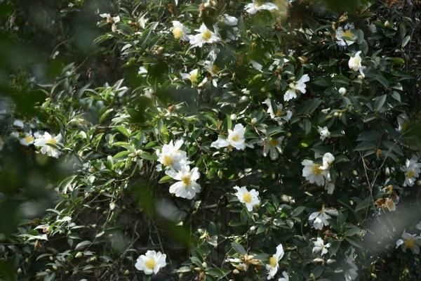 Du lịch Bình Liêu: Ngắm rừng hoa sở phủ sắc trắng tinh khôi