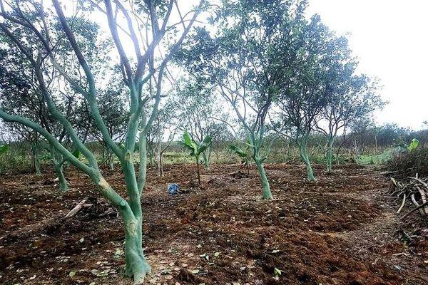 Nông dân Thừa Thiên Huế nỗ lực cứu cây thanh trà đặc sản sau lũ