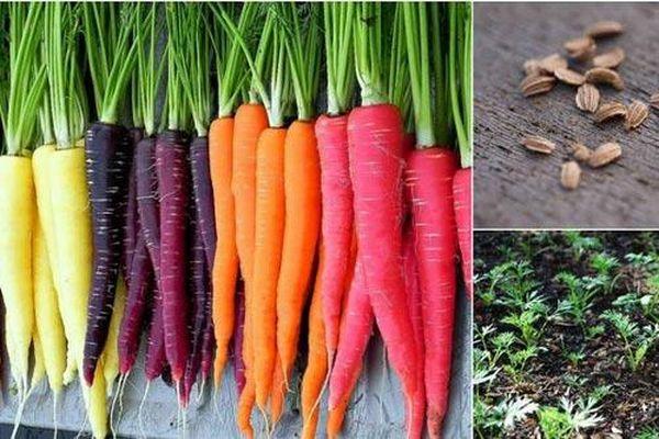 Học cách trồng cà rốt 7 màu ngon ngọt cả nhà đều mê