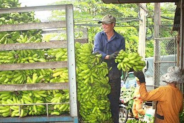 Người trồng ca cao vui đón tết, người trồng chuối… phập phồng!