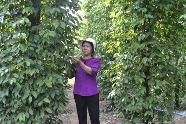 Tiêu chưa chịu đậu trái, dân trồng có mất tết?