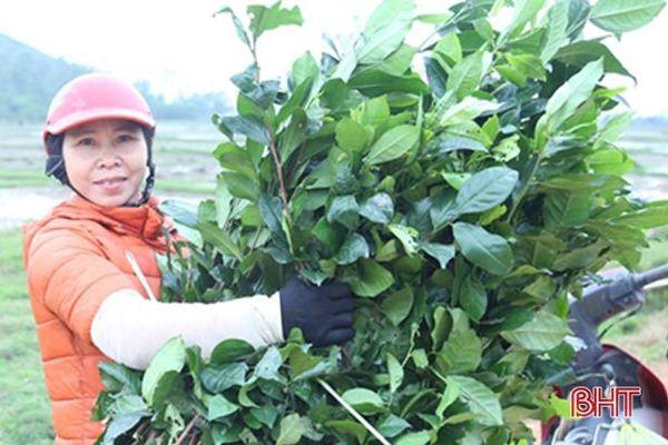 Chè xanh tăng giá, nông dân Hà Tĩnh phấn khởi vừa chăm vừa bán